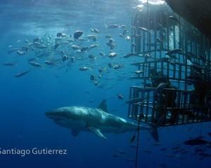 http://adventuremexico.travel/wp-content/uploads/2014/07/buceo-con-tiburon-blanco-mexico-seaspace2-wpcf_300x240.jpg