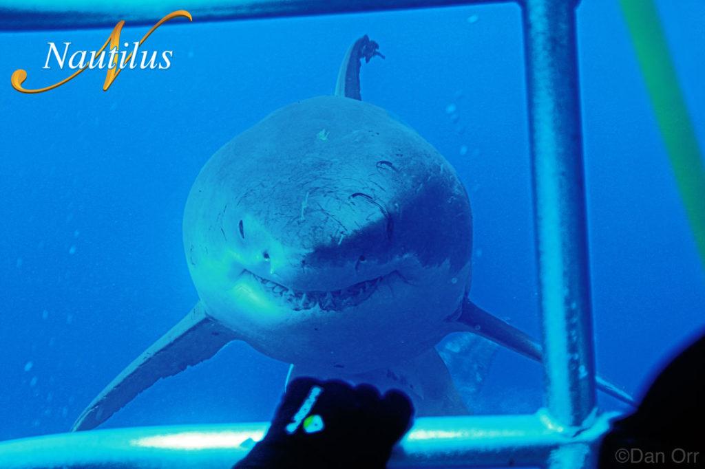 nautilus tiburon blanco guadalupe
